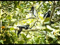 Lounging Colobus