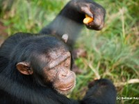 Chimp Eating Carrot