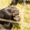 Chimp Eating Fruit