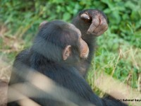 Chimpanzee facing away from the camera