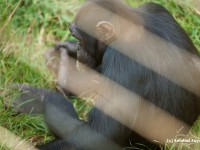 A chimpanzee at Ngamba Island
