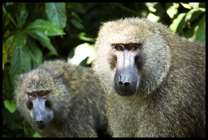 2Baboons_GALLERY