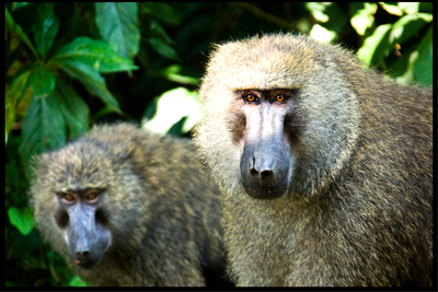 2 Baboons in Kibale Forest