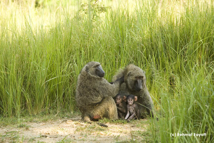 A family of baboons in Murchison Falls National Park.
