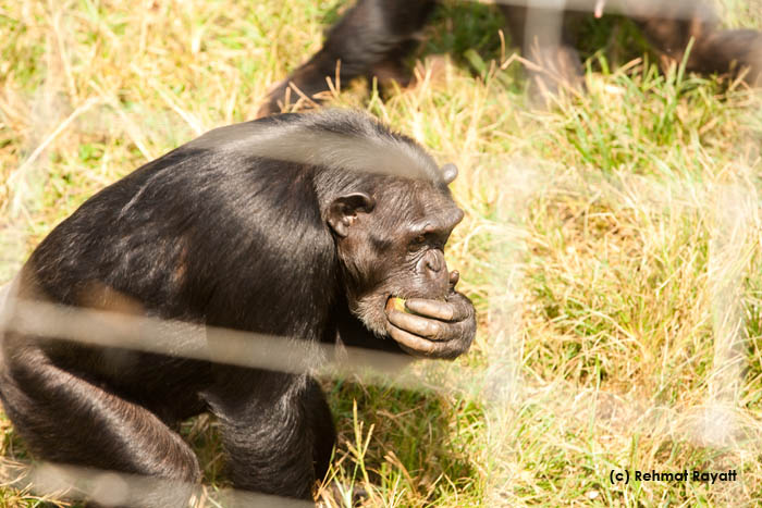 A chimpanzee at Ngamba Island, eating fruit.