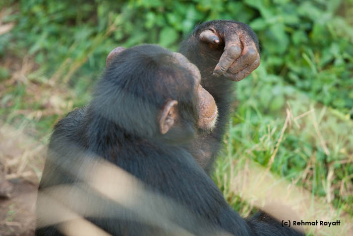 A chimpanzee facing away from the camera.