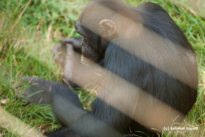 A chimpanzee looking down at Ngamba Island