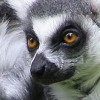 Debate: Richard Branson's plan to introduce lemurs
