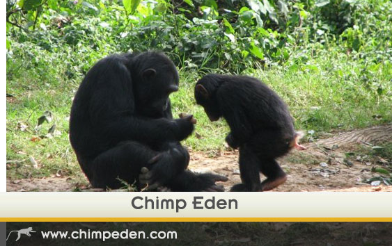 Chimp-Eden---sanctuary-page-optimised