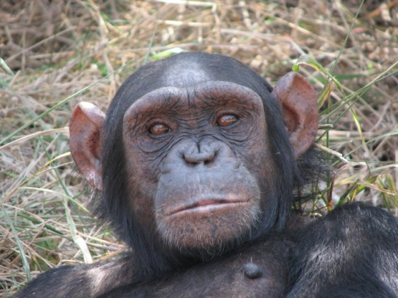 Chimpanzee at Sweetwaters Sanctuary, Kenya.