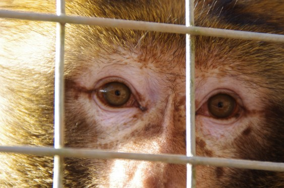 Mario the Barbary macaque looking out from behind bars.
