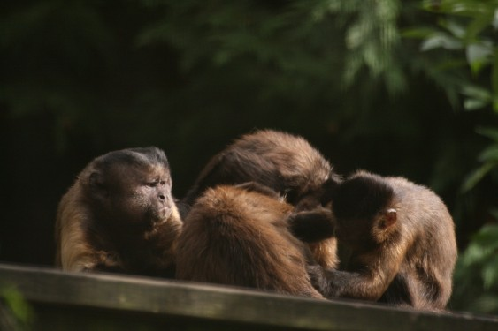 Capuchin monkeys at Wild Futures' sanctuary.  Photo credit to Petra Osterberg.