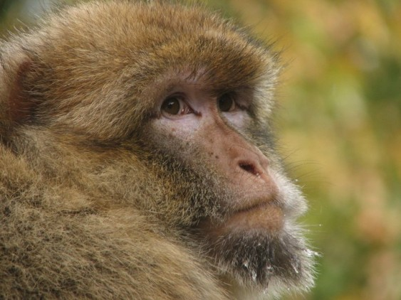 A Barbary macaque at Apenheul, a sanctuary in the Netherlands.  Photo credit to Lucy Radford.