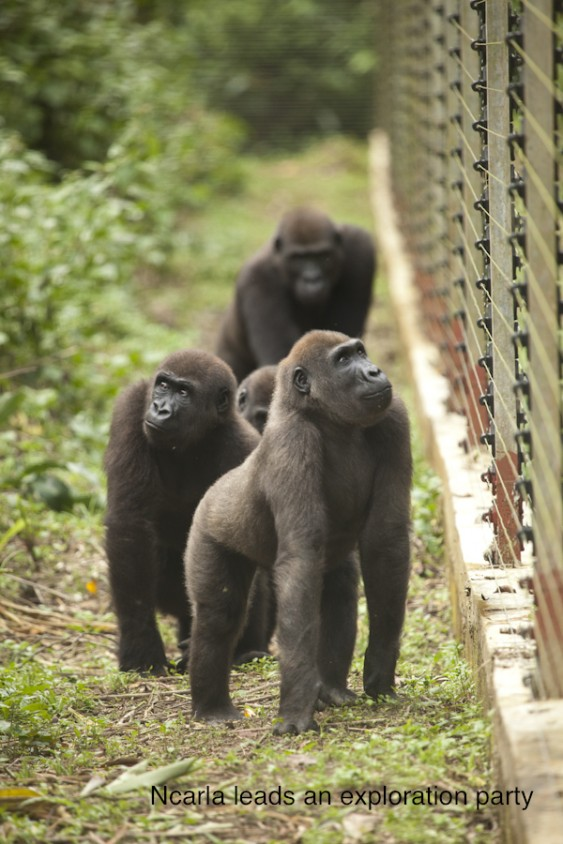 Gorillas exploring their new enclosure at the sanctuary.  Photo credit to Ian Bickerstaff.