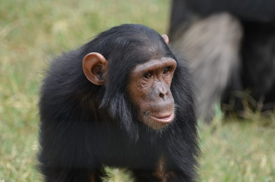 A juvenile chimpanzee at Sweetwaters Sanctuary.