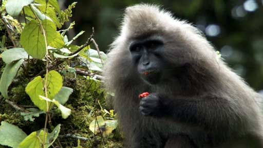 The kipunji, one of the species on the 2012-2014 Primates in Peril list.  Image courtesy of bbc.co.uk.