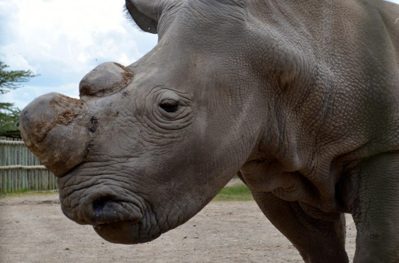 Rhinoceroses are among the species that ZSL's project will aim to protect