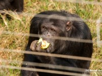 Chimp at Ngamba Eating Avocado
