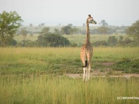 Giraffe at Murchison National Park