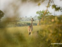A giraffe photographed through trees