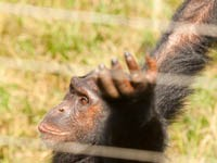 Chimpanzee Gesturing for Food